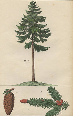 Pine Cones Drawing - Pine Tree And Cone by German Botanical Artist
