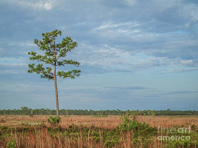 Photograph - Pine Tree And Marsh by Tom Claud