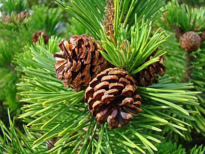 Pine Cones Photograph - Pine Tree Art Prints Pine Cones Green Forest Baslee Troutman by Baslee Troutman