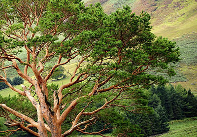 Photograph - Pine Tree At Wicklow Mountains. Ireland by Jenny Rainbow