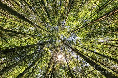 Pine Tree Forest Print by Ernesto Ruiz