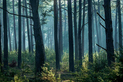 Photograph - Pine Tree Forest In The Netherlands by Alexandre Rotenberg