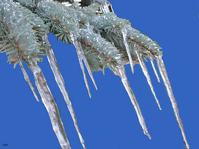 Photograph - Pine Tree Icicle Art  by Debra     Vatalaro