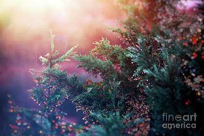 Photograph - Pine Tree In Sunset Light by Anna Om