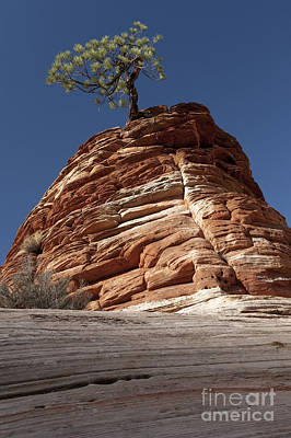 Photograph - Pine Tree On Sandstone by Sandra Bronstein