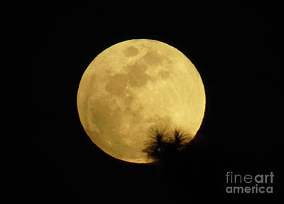 Pine Tree Silhouette Full Moon Art Print by D Hackett