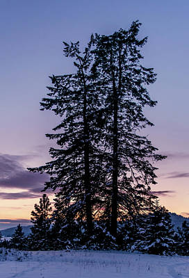 Photograph - Pine Tree Silhouette    by Lester Plank