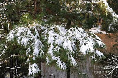 Photograph - Pine Tree Snow by Dale Powell