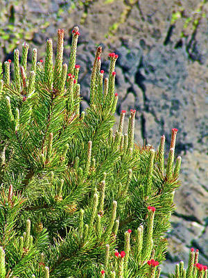 Photograph - Pine Tree Tips In Yaquina Head Outstanding Natural Area In Newport, Oregon by Ruth Hager