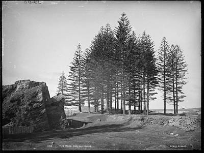 Painting - Pine Trees, Norfolk Island, Kerry And Co, Sydney, Australia, C. 1884-1917 by Artistic Panda