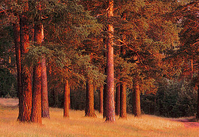 Photograph - Pine Trees by Vladimir Kholostykh