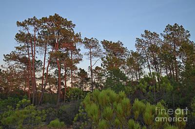 Pine Trees Waiting For Twilight Art Print