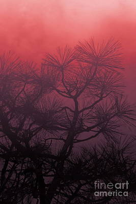 Photograph - Pine Treetops R by Tim Richards