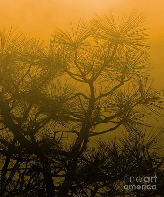 Photograph - Pine Treetops Y by Tim Richards