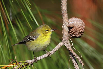 Pine Cones Photograph - Pine Warbler by Bruce J Robinson
