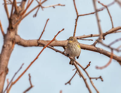 Photograph - Pine Warbler by Jonathan Nguyen