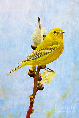 Warbler Photograph - Pine Warbler On Willow Catkin by Laura D Young