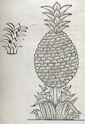 Food Y Photograph - Pineapple, 16th Century Artwork by Middle Temple Library