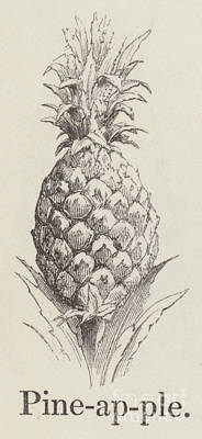 Botanical Drawing -   Pineapple by English School