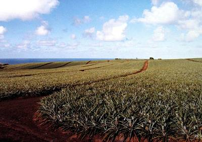 Photograph - Pineapple Fields by Will Borden