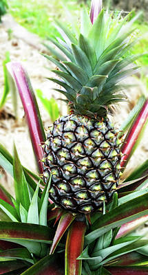 Photograph - Pineapple Fruit by Sheila Mcdonald