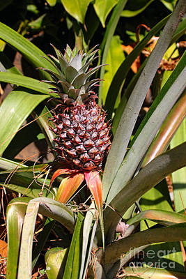 Pineapple In Nature By Kaye Menner Art Print