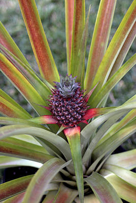 Photograph - Pineapple, Oahu by Kenneth Campbell
