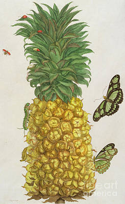 Exotic Plants Drawing - Pineapple With Caterpillar And Butterflies by Pieter Sluyter