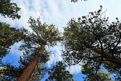 Photograph - Pines In The Sky by Sean Allen
