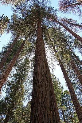 Yosemite Np Photograph - Pines by Sierra Vance