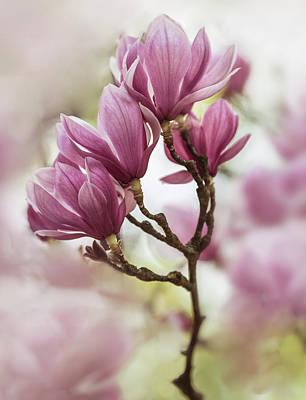 Photograph - Pink Soulange Magnolia Branch by Jaroslaw Blaminsky