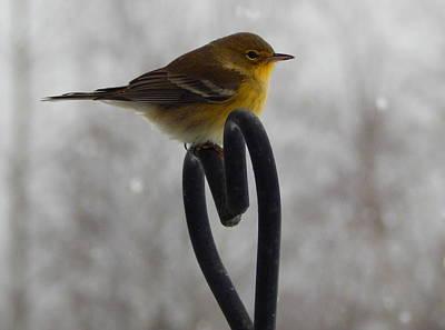 Rare Bird Sighting Photograph - Pining For You by Karen Cook