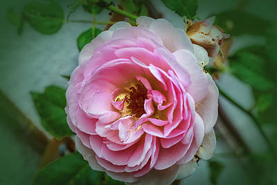 Photograph - Pink #a4 by Leif Sohlman