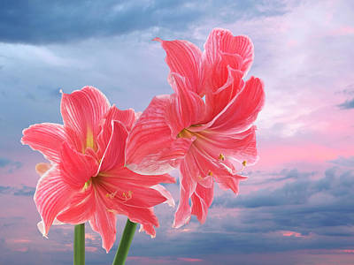 Photograph - Pink Amaryllis At Sunset by Gill Billington