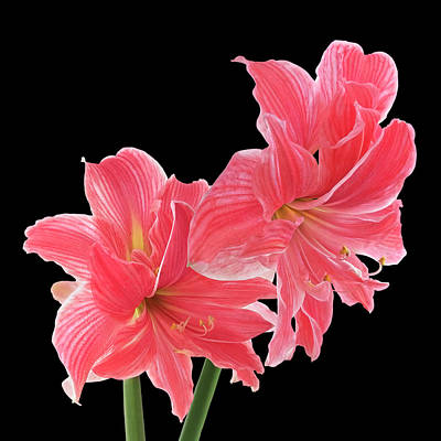 Photograph - Pink Amaryllis On Black by Gill Billington