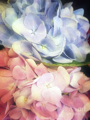 Photograph - Pink And Blue Hydrangeas by Jim And Emily Bush