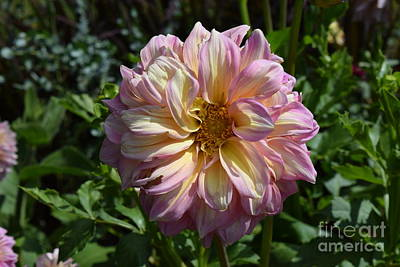 Photograph - Pink And Cream Dahlia by Jeannie Rhode