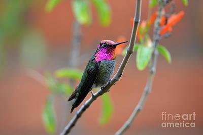 Pink And Gold Anna's Hummingbird Art Print