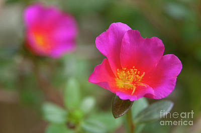 Photograph - Pink And Gold Portulaca by Leonardo Fanini