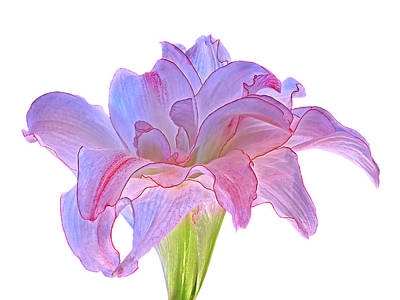 Photograph - Pink And Purple Amaryllis On White by Gill Billington