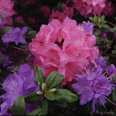 Floral Photograph - Pink And Purple Blossoms by Celtic Artist Angela Dawn MacKay