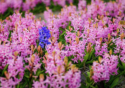 Photograph - Pink And Purple Daffodils by Alexandre Rotenberg