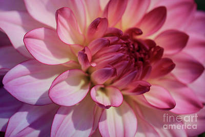 Pink And Purple Dahlia Art Print