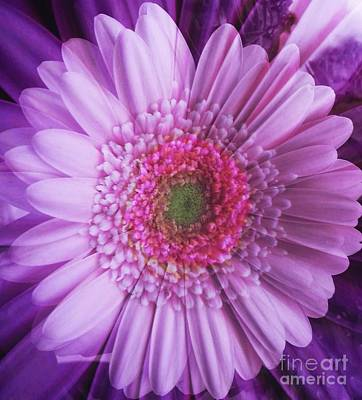 Photograph - Pink And Purple Gerbera Abstract by Joan-Violet Stretch