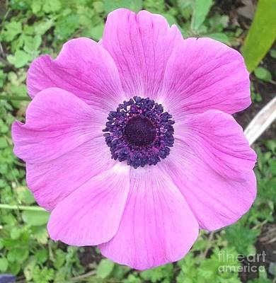Anemone In Pink And Purple  Art Print by Karen Moren
