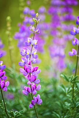 Photograph - Pink And Purple Lupine by Lynn Bauer