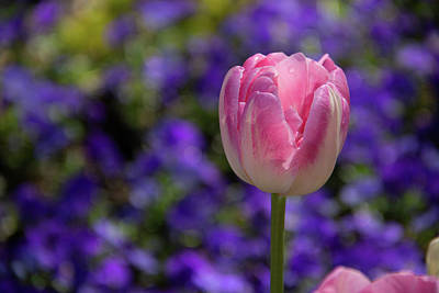 Photograph - Pink And Purple by Marie Leslie