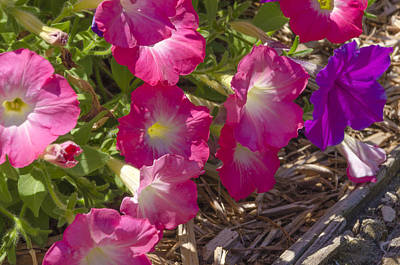 Photograph - Pink And Purple Petunias by Lynn Hansen