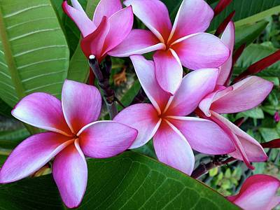 Photograph - Pink And Purple Plumeria by Brian Eberly