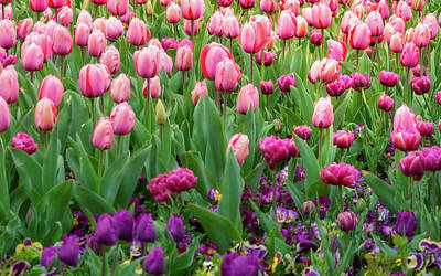 Photograph - Pink And Purple Tulips At The Spring Floriade Festival by Daniela Constantinescu